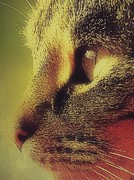 Photo Of Cat Prints - Tabby Cat Close Up Profile Print by Anne Macdonald