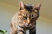 Tracey Harrington-Simpson - Tabby Cat Looking Down From A Height