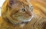 Tabby Cat Portrait Print by Sandi OReilly