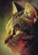 Photo Of Cat Prints - Tabby Cat Profile Print by Anne Macdonald