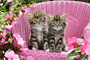 Tabby Kittens Print by Greg Cuddiford