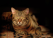 Cat Pictures Posters - Tabby Tiger Cat Poster by Renee Forth Fukumoto
