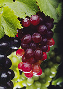 Concord Grapes Metal Prints - Table Grapes Closeup Metal Print by Craig Lovell