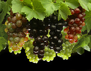 Grape Leaves Photos - Table Grapes by Craig Lovell