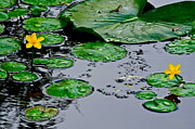 Lilly Pads Prints - Tadpole Haven Print by Robert Harmon