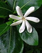 Gardenia Photos - Tahitian Tiare by James Temple