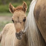 Wild Horse Photos - Tail Chewer by Carol Walker