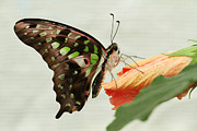 Judy Whitton - Tailed Jay Butterfly #7