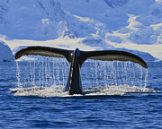 Humpback Whale Metal Prints - Tails from Antarctica Metal Print by Tony Beck