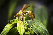 Science Photo Library - Taiwan hornet feeding on...