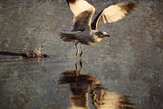 Ring-billed Gull Prints - Take Flight Print by Andrew Pacheco