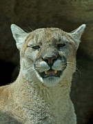 Cougars Prints - Take it Already Print by Ernie Echols