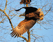 Eagle Metal Prints - Take Off Metal Print by Jai Johnson