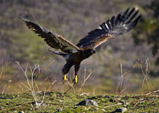 Eagle Photos - Take-off by Mike  Dawson