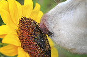 Happy Labrador Prints - Take Time to smell the Sunflowers Print by Terry DeLuco