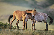 Frans Lanting MINT Images - Takhi Herd