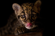 Clouded Leopard Posters - Taking A Licking Poster by Ashley Vincent