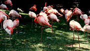 Flamingos Originals - Taking A Nap by Ruth  Housley
