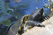 Yellow Slider Posters - Taking a Peek Poster by Carolyn Kump