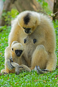 Primates Photos - Taking Care of Junior by Ashley Vincent