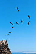 Taking Flight - Pelicans From Natural Bridges State Beach In Santa Cruz California. Print by Jamie Pham