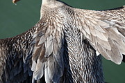 Frisco Pier Photos - Taking Flight With A Brown Pelican 5D21703 by Wingsdomain Art and Photography