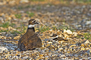 Killdeer Metal Prints - Taking You Under My Wing Metal Print by Gary Holmes