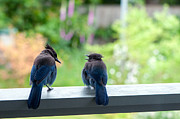 Talking Metal Prints - Talking Jays Metal Print by Sharon  Talson