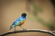 Starlings Metal Prints - Talking Superb Starling Metal Print by Chad Davis