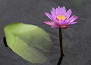 Sabrina L Ryan - Tall and Pink Water Lily