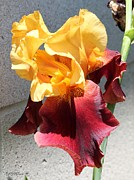 Merlot Prints - Tall Bearded Iris named Ancient Echoes Print by J McCombie