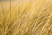 Indiana Dunes Photos - Tall Golden Grass by Anthony Doudt