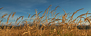 Fall Grass Posters - Tall Grass II Poster by Reflective Moments  Photography and Digital Art Images