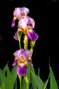 Baskets Posters - Tall Iris Poster by Robert Bales