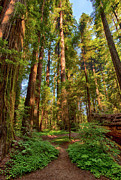 Avenue Of The Giants Prints - Tall Warriors - California Redwoods I Print by Dan Carmichael