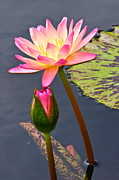 Byron Varvarigos - Tall Waterlily Beauty