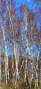 Anne Cameron Cutri Acrylic Prints - Tall White Birches Acrylic Print by Anne Cameron Cutri