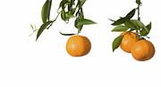 Tangerines On Branch Print by Anna Kaminska