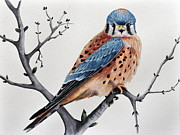 Forest Watercolor Art - Tangle Tree Kestrel by John W Walker