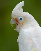 Pet Cockatoo Photos - Tanimbar Correla by Tony Beck