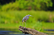Gray Heron Posters - Tantalizing Tricolored Poster by Al Powell Photography USA