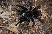 Tarantula Prints - Tarantula Amazon Brazil Print by Bob Christopher