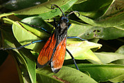 Flying Spider Posters - Tarantula Hawk Spider Wasp on Leaves Poster by Robert Hamm