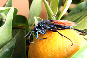 Flying Spider Posters - Tarantula Hawk Spider Wasp on Orange Poster by Robert Hamm