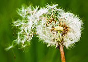 Breaking Apart Prints - Taraxacum Officinale Print by Steven Poulton