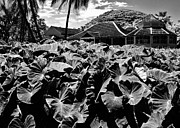 Moanalua Framed Prints - Taro Patch in Black and White Framed Print by Craig Wood