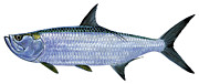 Striped Marlin Prints - Tarpon Print by Carey Chen