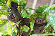Colour Image Framed Prints - Tarsier Framed Print by Lars Ruecker