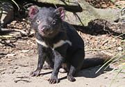 Tasmanian Devil Print by Steven Ralser