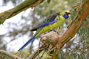 Green Forehead Framed Prints - Tasmanian Green Rosella Framed Print by Phil Stone